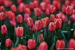My Love Your Love Forever (NATIONAL SUGRAPHIC) Tags: tulips laleler zeytinburnu spring ilkbahar yedikule flowers newturkei sugraphic nationalsugraphic love aåk doğa doğafotoğrafçılığı ayhançakar türkiye türkei çiçekler yenitürkiye