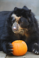 234A9259.jpg (Mark Dumont) Tags: andean animals bear cincinnati dumont mammal mark zoo