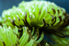 Dying Green Spider Mum (Raymone Creation by Tinamarie) Tags: dying green spidermum flowers flower