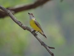 Gerygone albogularis 6 (barryaceae) Tags: barraba nsw australia ausbird ausbirds gerygone olivacea whitethroated tarpolytravellingstockreserveabout1kilometerpastwesterncattlegrid