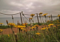 (autobusapedali) Tags: golfodibaratti livorno flower fiori squared fromwhereistand thetuscanytimes browsingitaly italy tuscany clouds autumn yellow