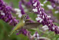 Humming Bird (karmill*) Tags: southcoastbotanicgardens palosverdes hummingbird purple