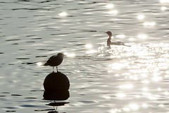 Sunlight Reflection Two Birds Water Reflections Water Reflections Bird Waterfront Reflection Water Bird Swimming Light And Shadow November November 2016 Travel (T.M Photos) Tags: sunlight reflection two birds waterreflections water reflections bird waterfront waterbird swimming lightandshadow november november2016 travel
