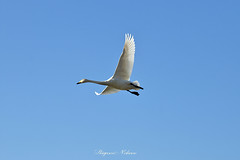 - Flying. (shig.) Tags: fly flying bird birds blue bluesky white whitebird nature natural sky canon eos 70d