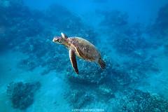 IMG_0120 copy (Aaron Lynton) Tags: spanish dancer snorkel scooter maui hawii hawaii canon g1x spanishdancer turtle honu tako octopus ocean animals papio yellowspotpapio starfish