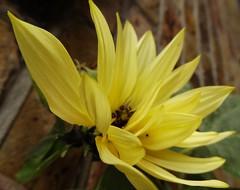 Sept2016 001 Helianthus - sunflower (monica_meeneghan) Tags: sunflower sept16