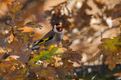 Goldfinch - blending in (JustinTheWild) Tags: goldfinch camouflaged autumn canon wild bird perched leaves otmoor uk oxfordshire rspb great britain