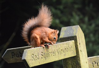 read the sign!  red squirrel, Sciurus vulgaris