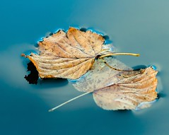 Together in Death (Karen_Chappell) Tags: leaf leaves blue orange two float floating nature macro autumn fall water pond park nfld newfoundland stjohns bowringpark