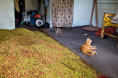 Cats and Cloves (winnieyklai) Tags: spiceislands maluku moluccas indonesia ternate pulauternate cloves spicetrade clove
