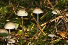 Dehnbarer Helmling , NGID834287814 (naturgucker.de) Tags: ngid834287814 naturguckerde dehnbarerhelmlingmycenaepipterygia weinstadt mhlhfle cvolkerherdtlepilzdehnbarerhelmling
