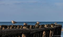Wangerooge2 (Re Ca) Tags: nordsee buhne norddeutschland niedersachen strand möwen eos70d wangerooge nordseeinsel