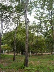 Cedrela Odorata (biodiversidadieti2iejuanfedericohollman) Tags: meliaceae