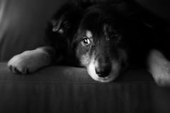 Maybe if I stay really still they won't see me... (christinemcroberts) Tags: eyes love live blacktri australianshepherd aussie dog nikond750 50mmf14 photography primelens nikkor nikon blackandwhite
