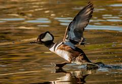 Hoodie Escape (cetch1) Tags: northerncaliforniaducks courtshipbehavior merganser wildlife malehoodedmerganser ducks hoodedmerganser