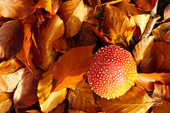 Autumn Ground (UK Nature Photography) Tags: mushroom fungi toadstool forest woodland leaves fall autumn flyagaric sony alpha sal70300g beech gold background wallpaper