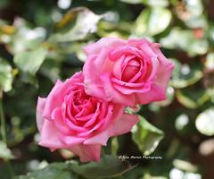 Pink Roses (juliam23) Tags: pink roses summer east rustin vicarage gardens norfolk uk canon eos60d
