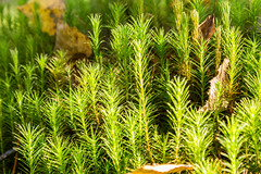 Common Hair Cap Moss in the forest (mikhafff1984) Tags: mosses moss floor native green cap polytrichum flora shade forest hair lush plants common commune botanical star