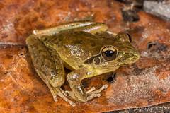 Stony Creek Frog (Litoria wilcoxi) (JLoyacano) Tags: australia frog jacobloyacano amphbian animal anura herp herping litoria litoriawilcoxii stonycreekfrog wildlife