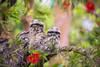 Tawny babies (ImagesByLin) Tags: australian spring tawnyfrogmouth babies birds cute springtime young bokeh bottlebrush backyard dof