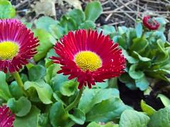 WP_20161118_11_00_57_Pro (vale 83) Tags: flower microsoft lumia 550 lunaphoto colourartaward coloursplosion friends macrodreams wpphoto wearejuxt autofocus