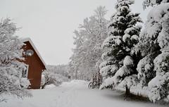 first snow. November,  2016 (Tjukka2) Tags: winterwonderland
