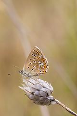 Azuré commun (CCphoto12) Tags: argusbleu azurécommun insecte letreuil lépidoptère nature papillon