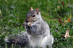 Eastern Gray Squirrel (--Anne--) Tags: easterngraysquirrel squirrel eating wildlife nature animals