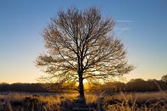 Sunny Tree (Mbakker81) Tags: zonsopkomst natuur sunset veluwe nature 2016 ngc holland morning hei tree heide ermelo winter sun 50mm trees canon