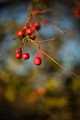 Fruits of Autumn (tonybill) Tags: autumn colour cyclop85mmf15 fall gardens miscellaneous november rhs rhswisley sonya7ii sunshine surrey wisley bokeh leaves