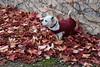 Ochi, camuflado (esta_ahi) Tags: lleida parthenocissus tricuspidata parthenocissustricuspidata vitaceae parravirgen ochi fulles hojas trepadora red lametlladesegarra segarra lérida spain españa испания lasegarra hojarasca hojassecas otoño