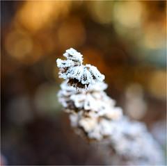 frozen.......... (atsjebosma) Tags: frost frozen bevroren plant garden tuin cold koud macro bokeh colorful kleurrijk november atsjebosma 2016 ngc