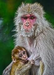 Monkeys Jakhu Temple Shimla India DSC_0823 (JKIESECKER) Tags: monkeys hanumanji shimlaindia india temples hindutemples hindi peopleandnature wildlife wildlifeviewing protectedareas