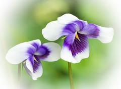 Viola hederacea (Roniyo888) Tags: viola hederacea australia small violet white flower green leaf outdoor depth field bright serene plant pattern organic