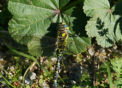 Southern hawker (Aeshna cyanea), Carcassonne (Niall Corbet) Tags: france occitanie languedoc roussillon aude carcassonne dragonfly southernhawker aeshnacyanea
