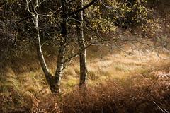 Holme Fell (Lake District) 06/11/2016 (Matthew Dartford) Tags: autumn birch bokeh lakedistrict tree