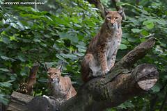 Two eurasian lynx - Zoo Duisburg (Mandenno photography) Tags: dierenpark dierentuin dieren duitsland duisburg zooduisburg zoo lynx eurasian luchs animal animals bigcat big cat