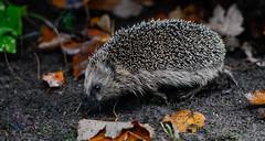 _DSC8740 (gupta.steve) Tags: igel herbst sugetier natur wildlife tier nikon tamron makro park