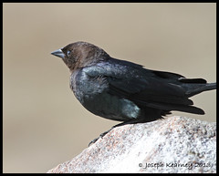 Brown-headed Cowbird (JosephK2012) Tags: bird ab alberta brownheadedcowbird franklake