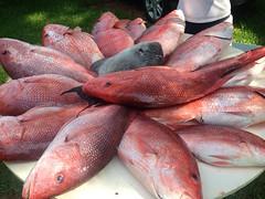 #bigassresfish #redsnapper #gom #gulf #fishing (bigassredfishteam) Tags: fishing gulf redsnapper gom uploaded:by=flickrmobile flickriosapp:filter=nofilter bigassresfish
