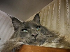 maine coon Florimon 46 (Richcoon's Florimon) Tags: cute cat mainecoon