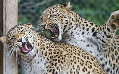 Fighting after love! (Tambako the Jaguar) Tags: wood wild france love sex female cat zoo persian big fight paw nikon couple action platform together leopard argument violence mating fighting lying lorraine d4 amnéville