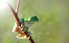 Green frog (Ignazio Corda) Tags: hila hyles theunforgettablepictures beautifulmonsters photo©byigcor