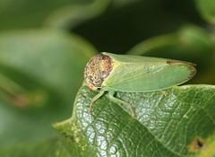 Iassus lanio - Cicadellidae (Birds and Bugs) Tags: macro bug geotagged cambridgeshire raynoxdcr150 cicadellidae sigma105mm canoneos450d iassuslanio geo:lat=5247914421856976 geo:lon=0213732918632431