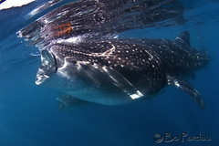 Whale Shark (bodiver) Tags: ambientlight wideangle freediving whaleshark fins islamujeres