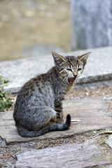 LOL (Nuno's Photo Warehouse) Tags: cat canon kitten yawn gato 7d bocejo gatinho 2013 nunofrocha