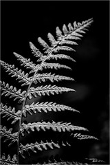fading away in black and white (Globetrotter_J) Tags: trip bw white mountain black fern nature monochrome norway canon norge dof walk natur norwegen tur part weiss schwarz farn fjell