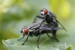 bzzzzzzzzzzzzzzzzzzzzzzz..............NO PS (Pedro Flech@) Tags: de funny una 18 drole divertido mocsa risas funnyshot coito reproduccióninsectos moscareproducción moscasexo moscamoscas cachondasmacro