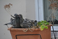 pigeon's nest - mother and baby