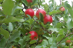 """Unknown Variety Apples <a style=""""margin-left:10px; font-size:0.8em;"""" href=""""http://www.flickr.com/photos/91915217@N00/10303082733/"""" target=""""_blank"""">@flickr</a>"""